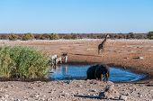A Herd Of African Elephant -loxodonta Africana- Taking A Bath In A Waterhole In Etosha National Park poster