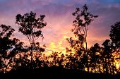 Australian sunrise with gum trees silhouette