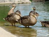 Duck Group At The Pond