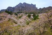 Cherry Tree And Craggy Mountain