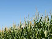 Corn Field At Summer