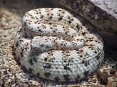 Southwestern Speckled Rattlesnake, Crotalus Mitchelli Pyrrus