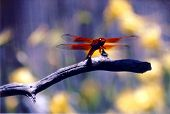 Dragonflysm