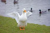 White Duck With Orange Beak And Feet Having A Stretch