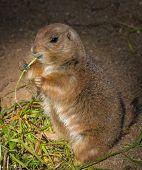 Little gopher eating grass