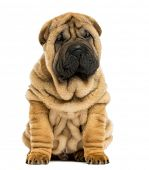 stock photo of vertebrates  - Front view Shar pei puppy sitting  - JPG