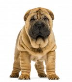 Front view of Shar pei puppy (11 weeks old) isolated on white