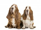 Two Basset Hounds sitting, isolated on white