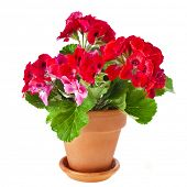 stock photo of geranium  - Red geranium flower - JPG