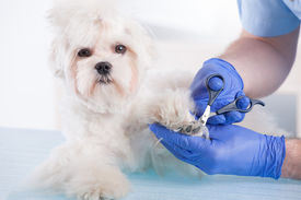 stock photo of nail-cutter  - Smiling vet making a checkup of a dog maltese - JPG