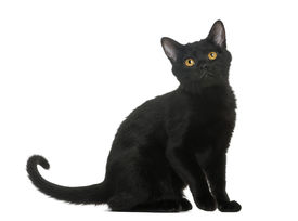 picture of american bombay  - Bombay kitten sitting and looking up - JPG