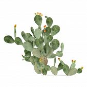 Plant isolated. Opuntia ficus-indica