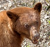 Cinnamon American Black Bear