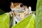 Map treefrog (Hypsiboas geographicus)