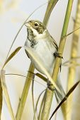 Reed Bunting, in winter plumage (Emberiza schoeniclus)