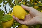 Picking ripe lemon