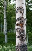 Scared Quaking Aspen Tree