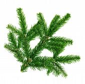 Fresh Fir Twig Isolated On White