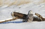 Snowy Owl On Snow Covered Beach