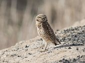 Burrowing Owl Standing on a Hill