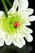 Beautiful ladybird on flower, on black background