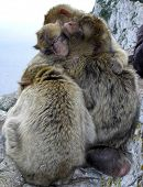 Four Monkeys Hugging