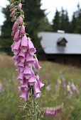 pic of digitalis  - Foxglove  - JPG