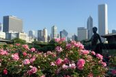 Roses with Chicago skyline as a background