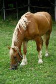 Pferd auf der grünen Wiese