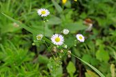 picture of angiosperms  - White flower chamomile roman - JPG