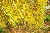 image of weeping willow tree  - Babylonica or Weeping willow Salix is a tree belonging to the Salicaceae family - JPG