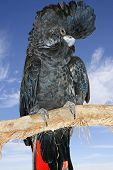 Black Cockatoo With Sky Background