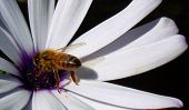 picture of honey-bee  - bee pollinating a flower - JPG