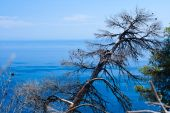 Burned-out Tree And Blue Aegean Sea.