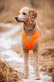 picture of standard poodle  - Young poodle standing in the forest and looking for pheasants - JPG