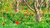 Tulips Bloom In Walnut Garden