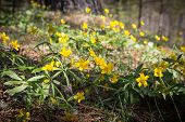 Bouquet Of Yellow Spring Snowdrops, Primroses.