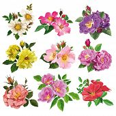 Set Of Colorful Flowers Of Wild Rose