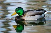 Mallard Duck (anas Platyrhynchos) Male