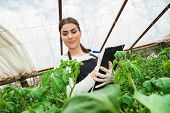 Agriculture woman engineer checking greenhouse crop