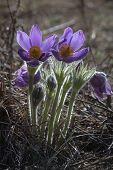 Bouquet Of Flowers Pulsatilla, Snowdrop, Primrose, Spring Flower.