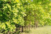 Oak Tree In The Park