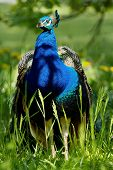 Peafowl on the grass