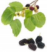 Branch Of Mulberry Tree With Fruits