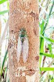 Cicada On Tree Close Up