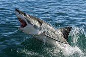 foto of great white shark  - Endangered great white Shark in Gansbaai - JPG