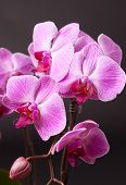 Pink Moth Orchid On Black
