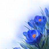 Spring crocus flower background