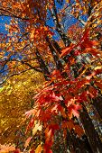 Fall maple trees with red and orange leaves in autumn forest. Algonquin provincial park, Canada.