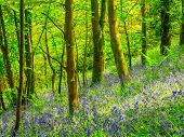 Cornish Bluebells Woods
